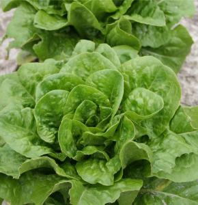 salade-chicon.jpg