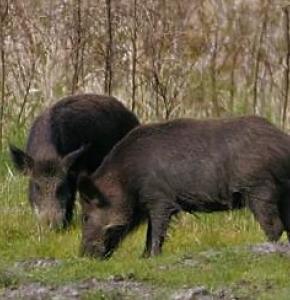 two-wild-boars-sus-scrofa-725x483.jpg