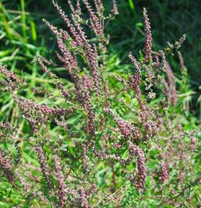 ambroisie-fleurs.JPG