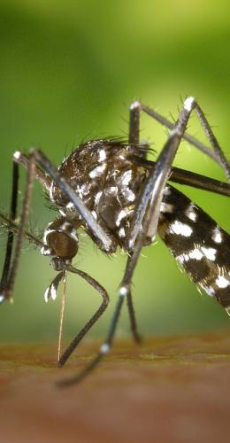 tiger-mosquito-49141_960_720.jpg