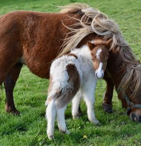 shetland-pony-4080702__340.jpg