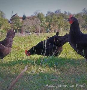 poule noire.jpg