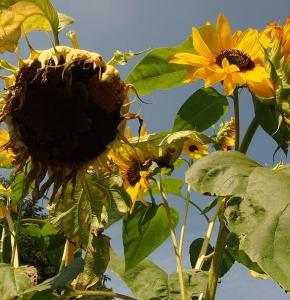 sun-flower-drought-dry-heat.jpg