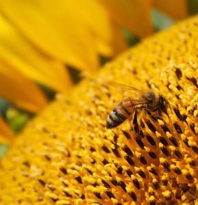 sunflower-flower-honeybee-bee.jpg