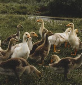 ducks-5820051_960_720.jpg