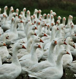 geese-5682476_960_720.jpg