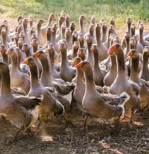 elevage-gavage-canards-oies-foie-gras-20.jpg