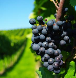 178095__grapes-grona-lstva-branches-vines_p.jpg